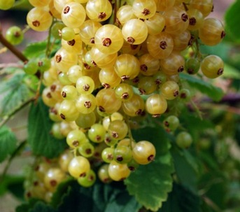 The Care of Red and White Currants