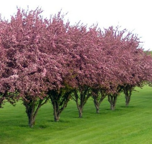 Malus flowering crabs for Pink small tree