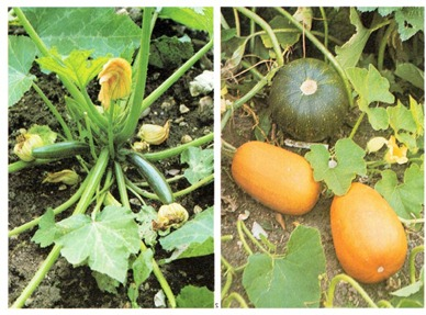 How To Grow Your Own Squash, Marrows, Pumpkins And Courgettes