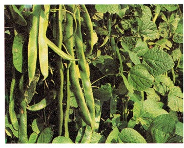 How To Grow Legumes–Beans and Peas