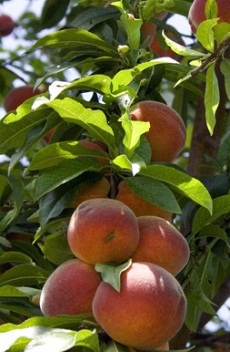 The Care of Peaches and Nectarines
